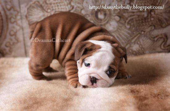 Moo Moo 5 Week Old English Bulldog Puppy Bulldog Puppies