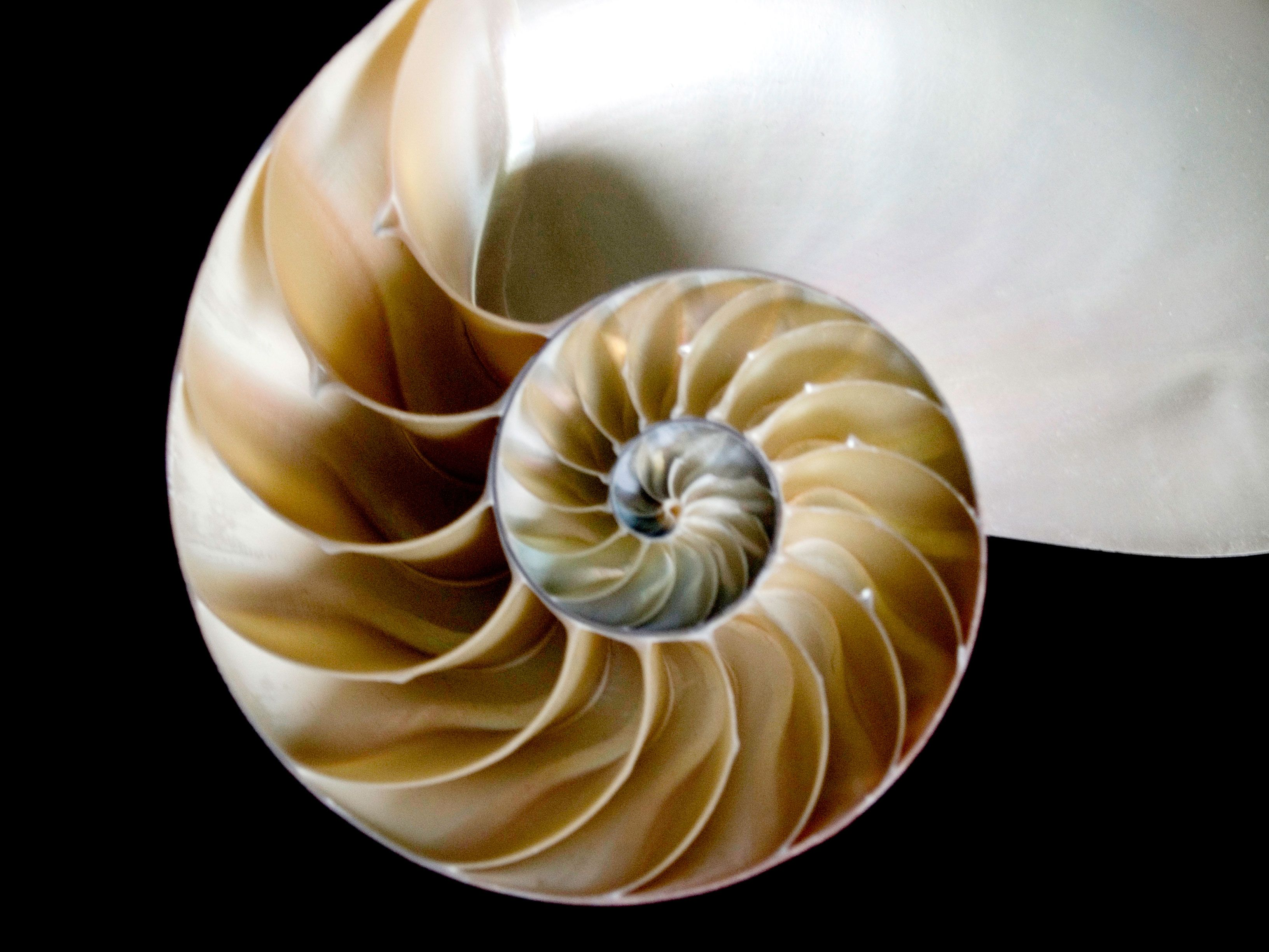 Here is a real bisected nautilus shell | Ocean planet ...