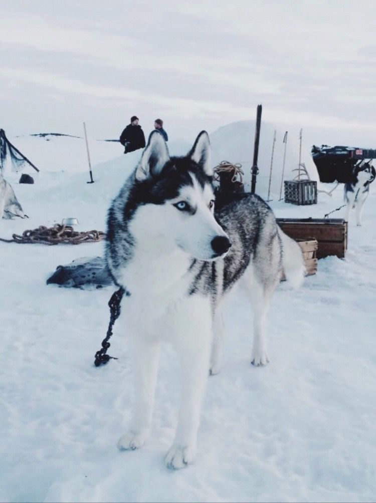 Gorgeous Husky Dog In The Snow So Cute And Beautiful Even With The