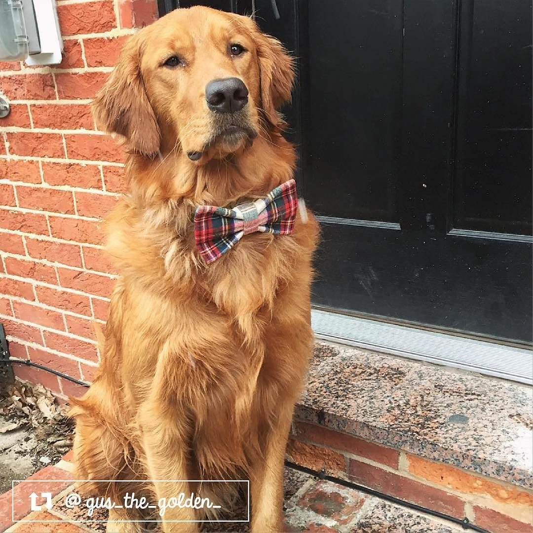 Gus The Golden Retriever From Baltimore Md Dog Bowtie Dog