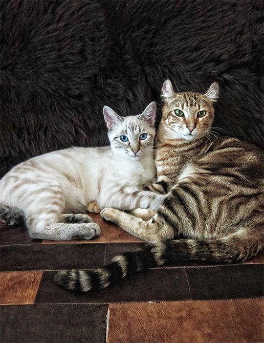 Desert Lynx Breeding Group This Means Highland Lynx Curled Ears