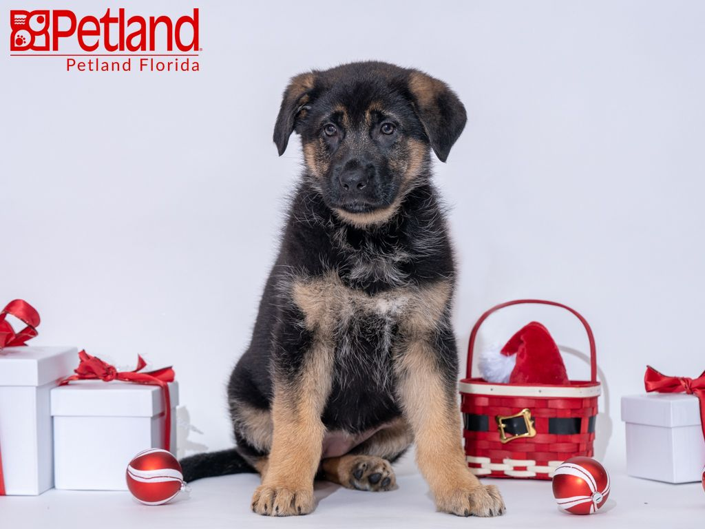 Petland Florida Has German Shepherd Puppies For Sale Check Out All Our Available Puppies Germanshepherd Petlandkendall Petland German Shepherd Puppies Dog Lovers Puppies
