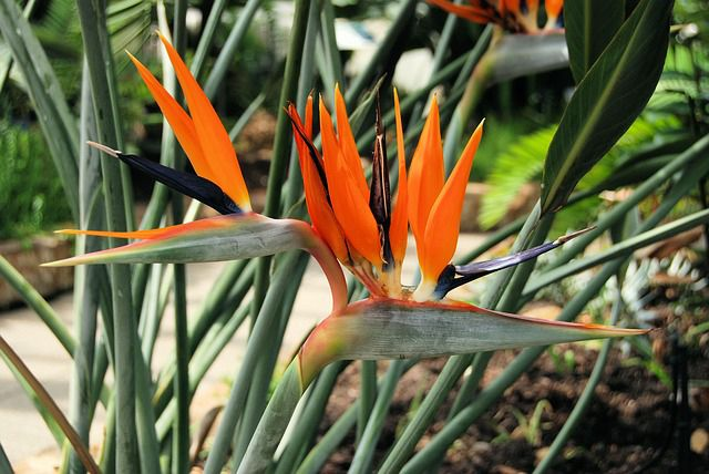 Oiseau De Paradis Strelitzia Fleur Plante Entretien Culture Oiseau Du Paradis Fleurs Oiseaux De Paradis Fleur Du Paradis