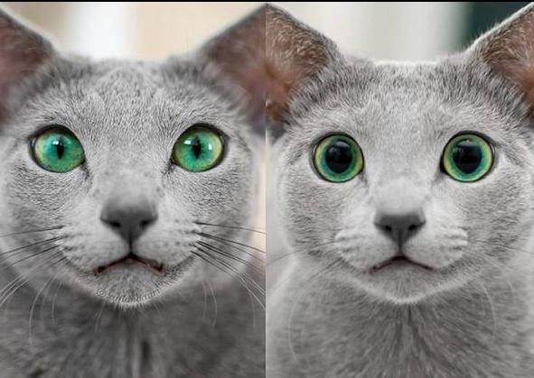 Same cat, day vs night aww Russian blue, Russian blue