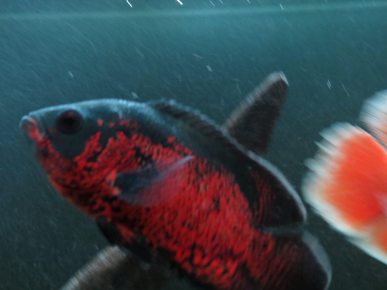 Super red oscar | My tiger Oscar cichlid | Pinterest | Oscar fish ...