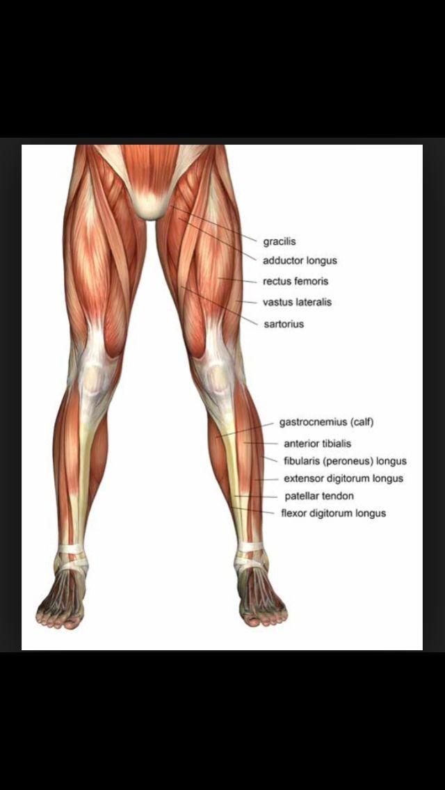 Quad muscles   Anatomy   Pinterest   Anatomy