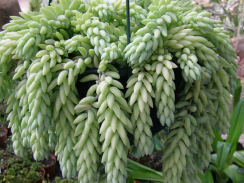 Sedum Morganianum Donkey S Tail Belles Fleurs Plantes De