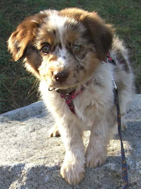 Australian Shepherd Lab Mix For Sale : australian, shepherd, Spicey, Aussie, Shepherd/Blue, Heeler, Australian, Shepherd, Heeler,, Friends, Pets,