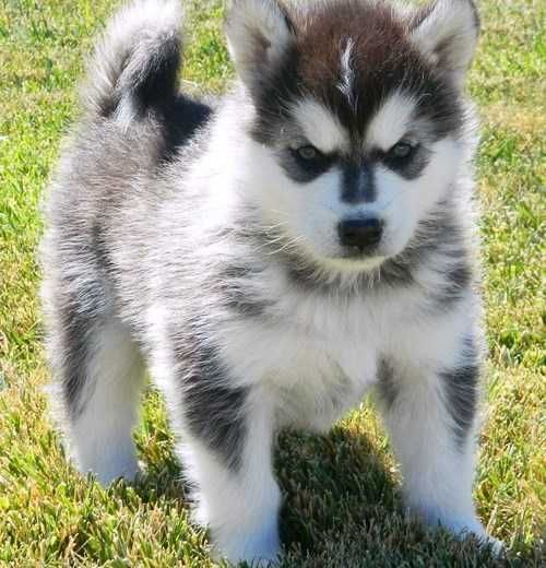 Helpful Alaskan Klee Kai Pups For Good Home We Have A Male And