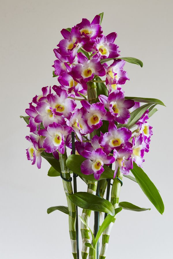 Dendrobium The Bamboo Style Orchid Orchid Flower Orchids Dendrobium Orchids