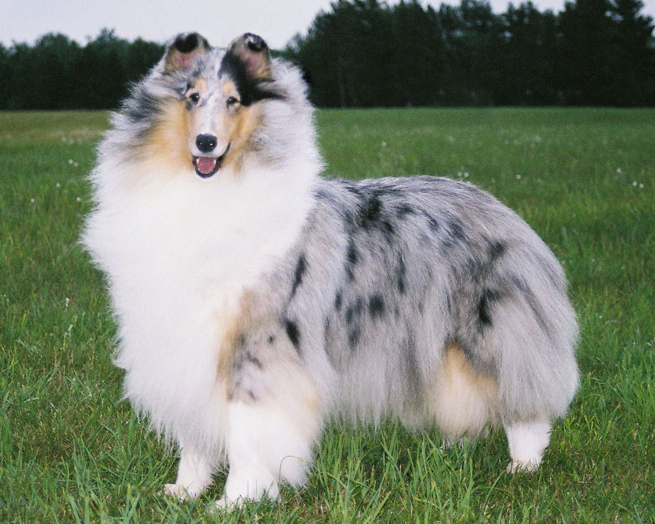 Pin em Rough Collie