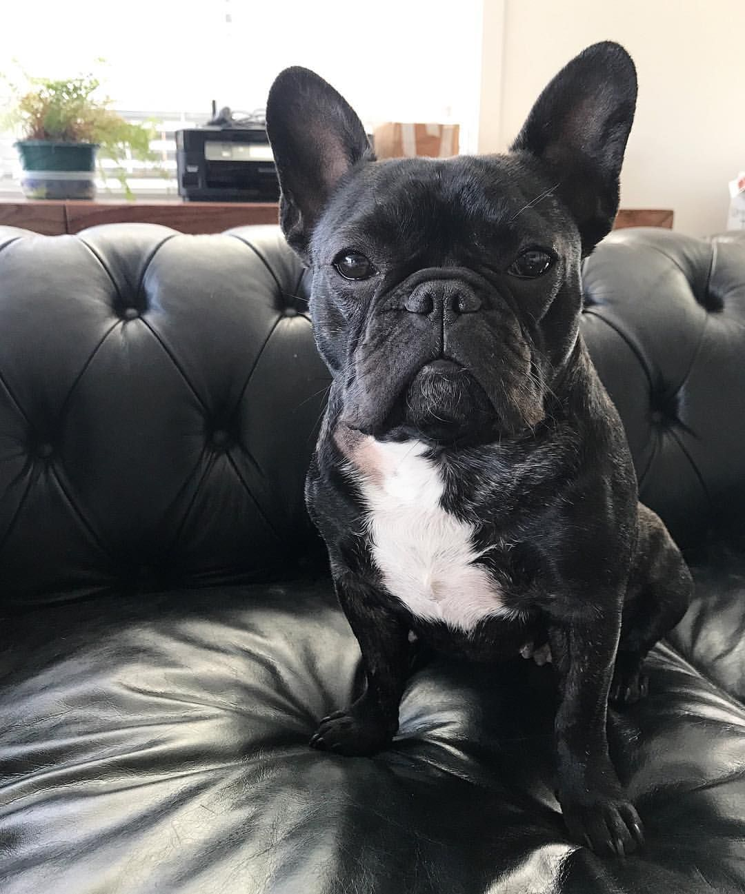 Indie The French Bulldog