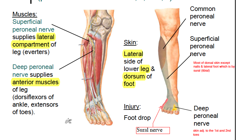 common fibular nerve lesion following a Info the common fibular nerve (common peroneal nerve external popliteal nerve peroneal nerve lateral popliteal nerve), about one-half the size of the tibial nerve, is derived from the dorsal branches of the fourth and fifth lumbar and the first and second sacral nerves.
