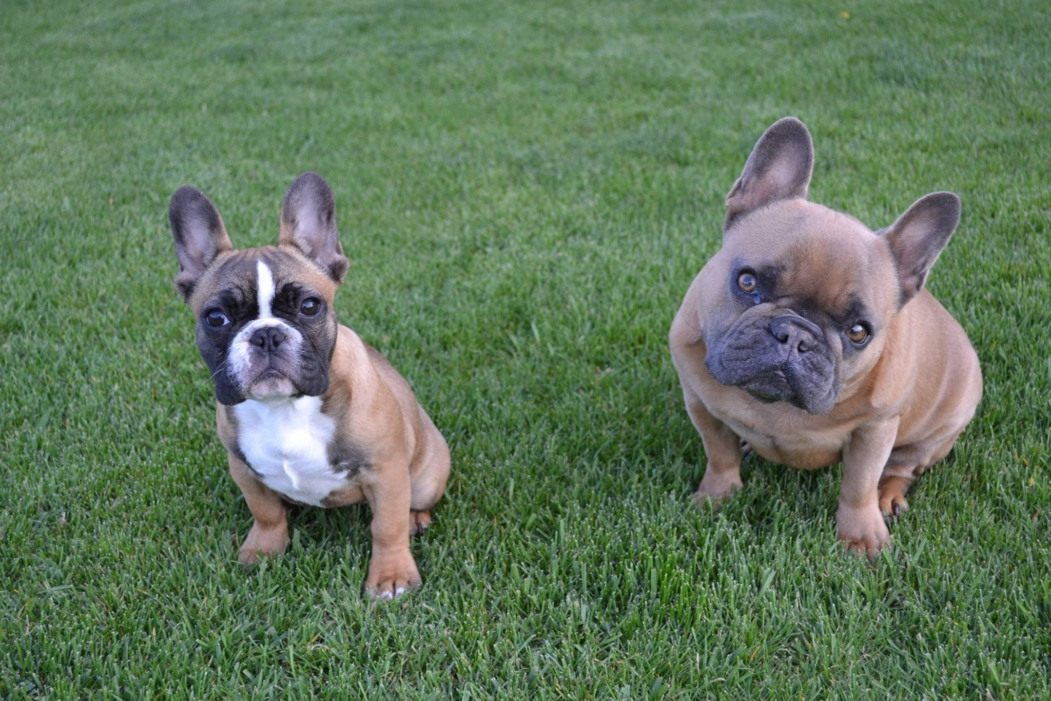 Pin By Michelle Karwisch On French Bulldogs My Dream Dog