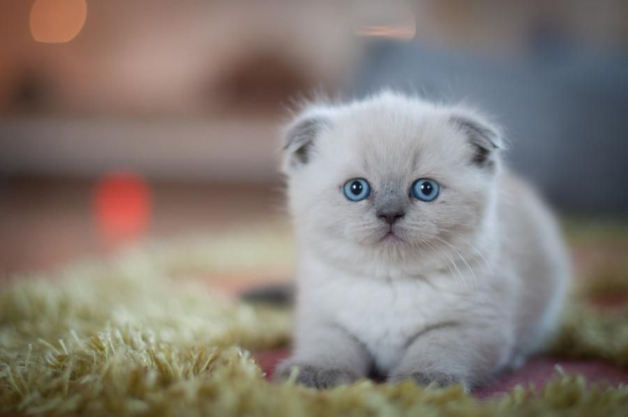 All Newest Pixdaus Balu The Cat Photo By Perfect Shots By Assen Oh What Beautiful Eyes Baby Cats Cute Animals Cats