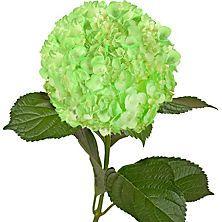 Painted Hydrangeas, Neon Green (Choose 14 or 26 stems)