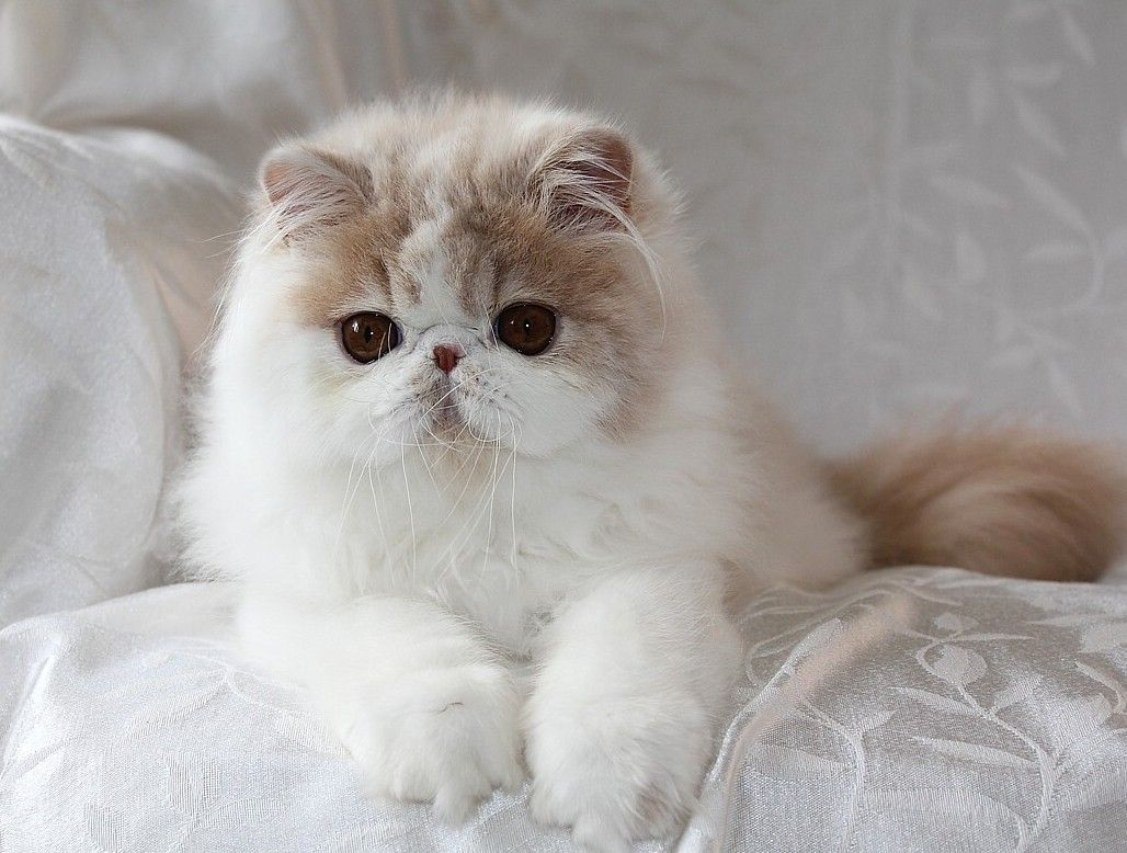 Alfenloch Himalayan kittens, Persian kittens, Ontario