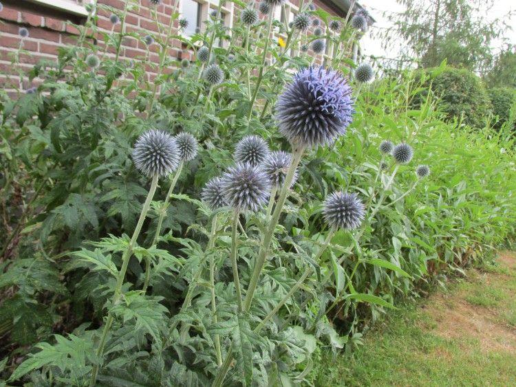 Verwonderlijk 13 planten die goed tegen droogte en droge grond kunnen | Tuinplanten ZA-06