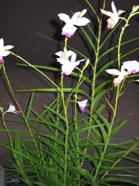Arundina Graminifolia Bamboo Orchid Orchids Orchid Plants Mother Plant