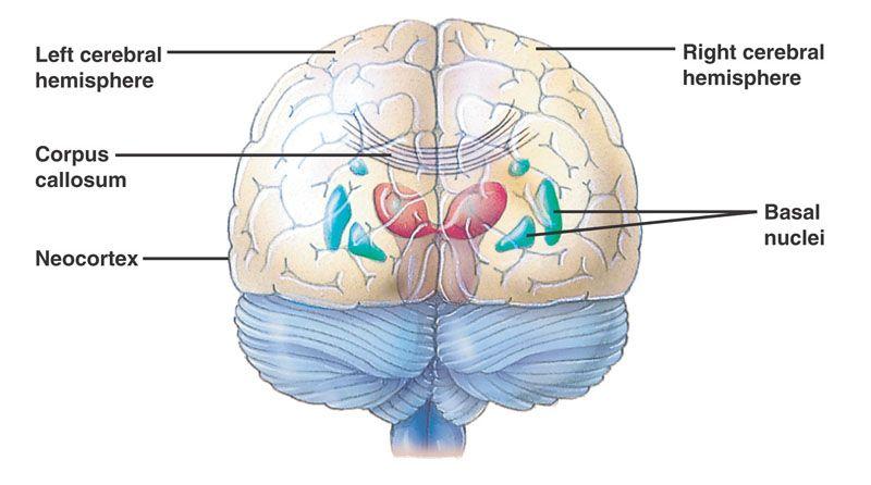 Human Cerebrum Anatomy Tutorials Pinterest Maths