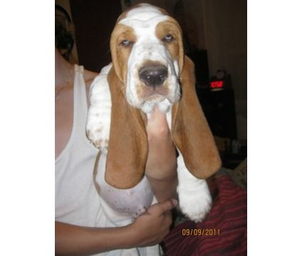 Valentines Day Basset Hound Puppies Coming Soon Is A Female Basset