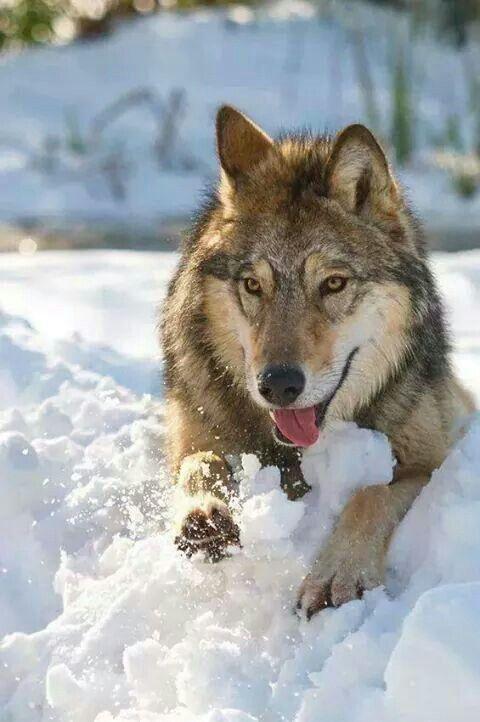 ♥WOLF♥ 343 WOLF IN SNOW