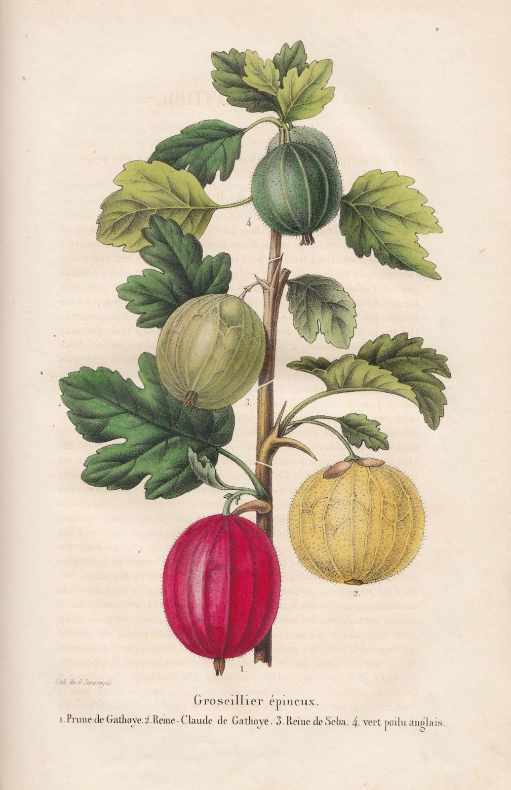 Groseillier Epineux Yellow Green And Red Goosberry From