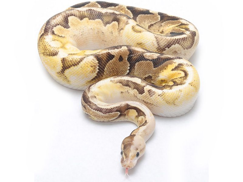 Atomic Fire Sugar | Ball Python | Pinterest | Serpientes, Culebras y ...