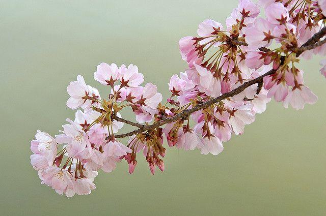 Cherry Blossoms Blossom Cherry Blossom Blossom Meaning