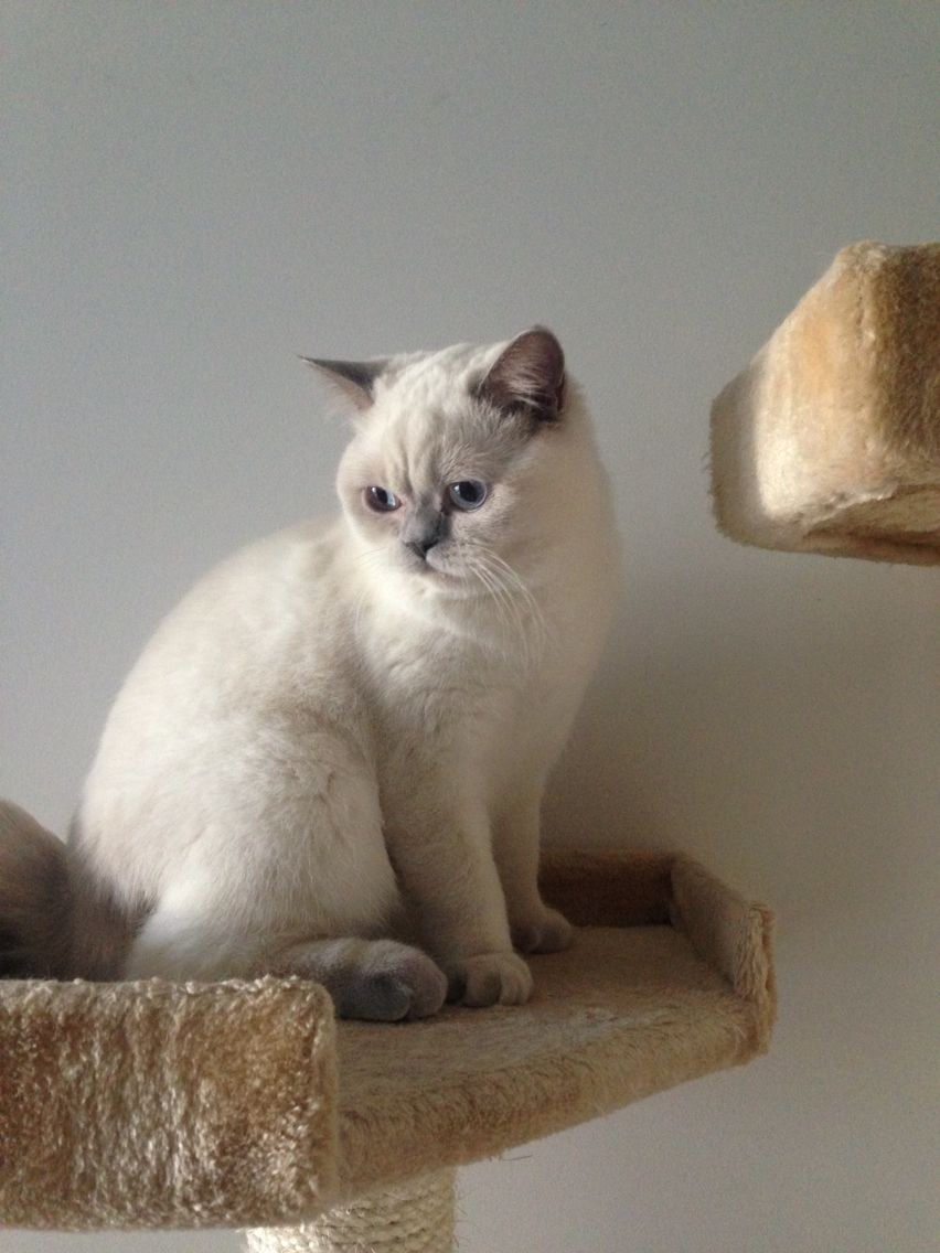 Ma Jolie Poupée - #british #britishcat #britishlovers #britishshorthair #lilaspoint #britivana #colorpoint #colourpoint #joliepoupee #love #cute #cuteness #cat #chat #cats #chats #chaton #kitten #kitty #socute #mimi #mignon #poupee #jolie #yeuxbleus #lilas #loof #beaute #beauty #moelleux #douceur #doux #lovely #loof #lilaspoint #fluffy #fluffycat #fluffyball #kawaii