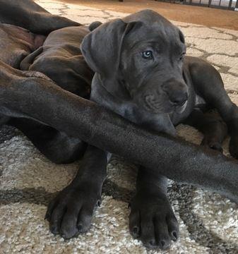 Great Dane Puppy For Sale In Chardon Oh Adn 51509 On Puppyfinder