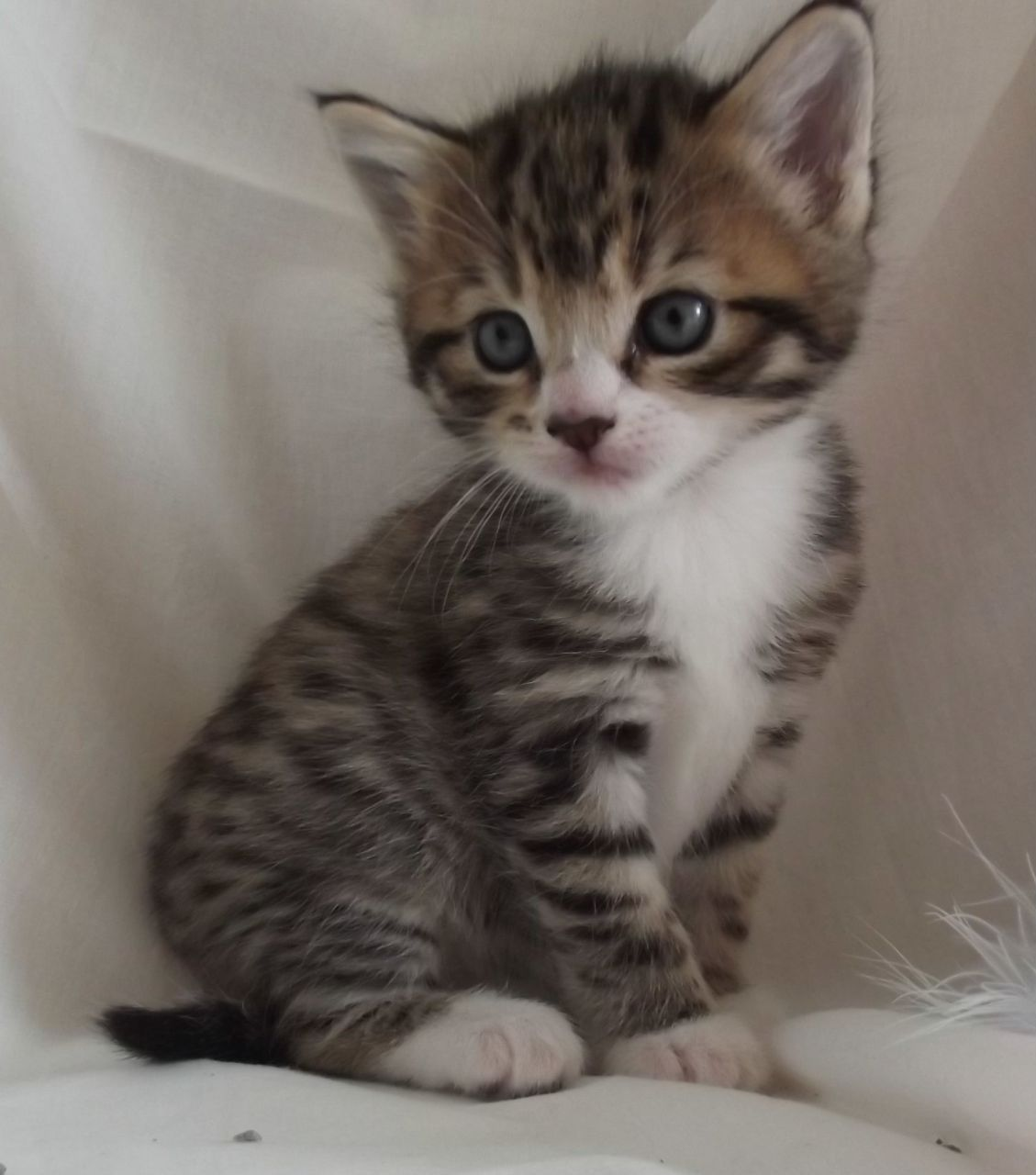 Google themes kittens - Gray Brown And White Kittens With Blue Eyes Google Search More