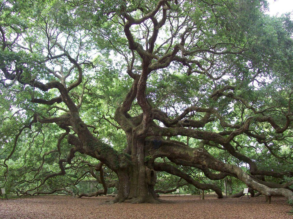 Angel Oak Tree, Johns Island: See 1,267 reviews, articles