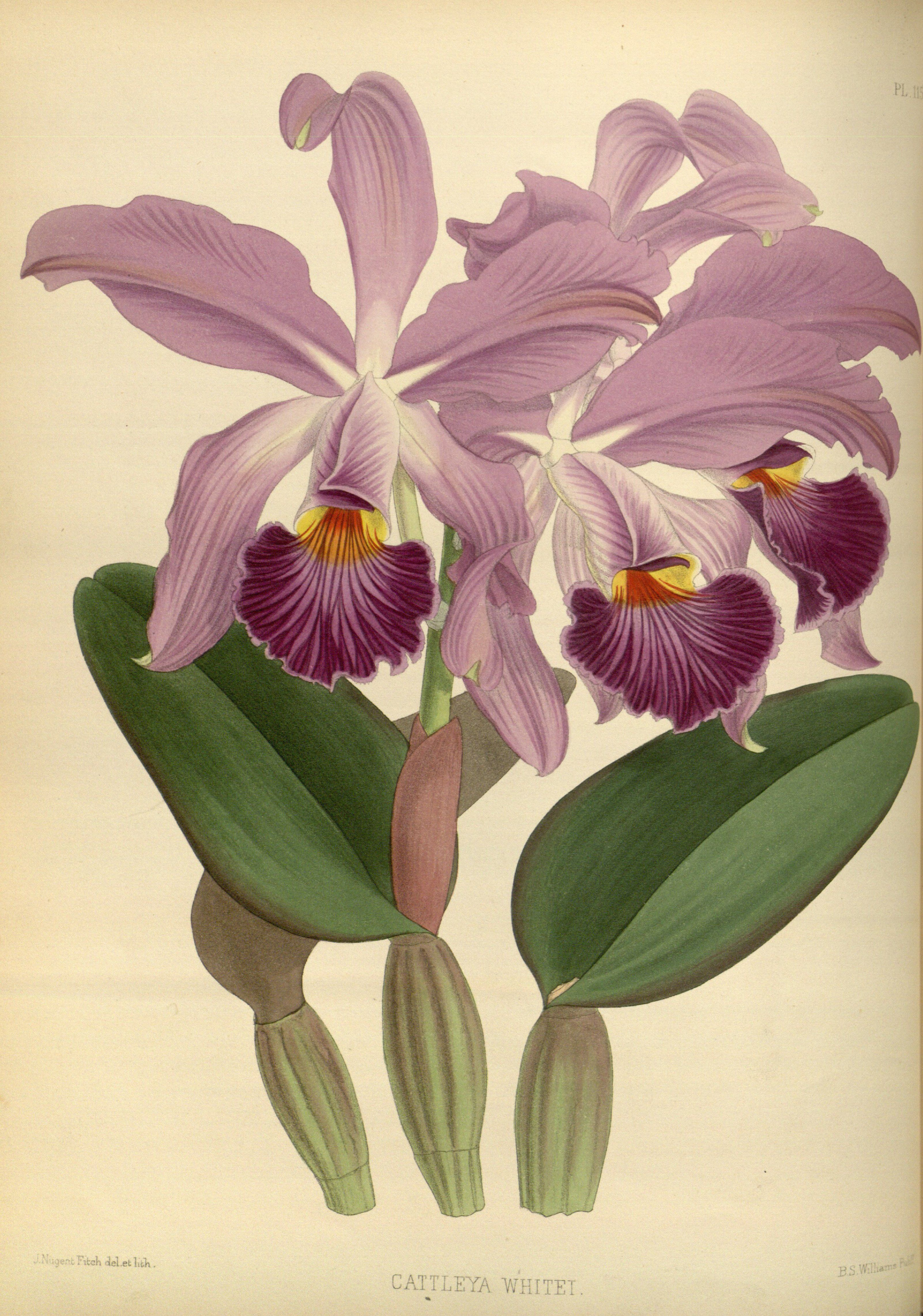 Cattleya Whitei - Circa 1884 Orchid Illustrations In 2019 Orchids Botanical