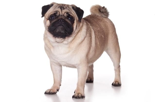 Have You Heard Of Retro Pugs They Re Breeding Pugs To Be More