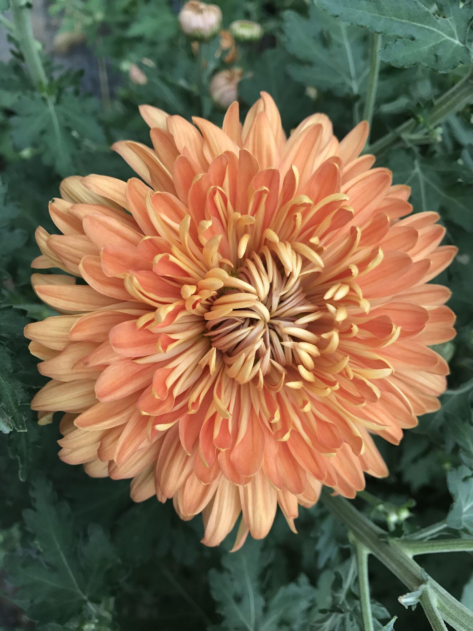 Mums disbuds (big fluffy fancy ones) Bloom, Foliage