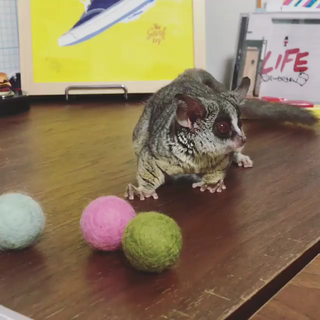 Bush baby plays with balls, eats one of them (it's a ...