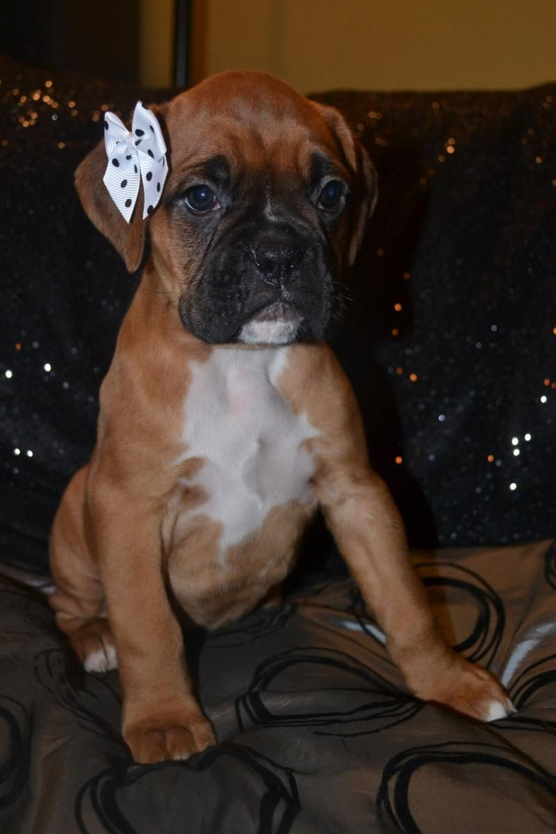 Boxer Girl I Want Another Baby Girl Puppy So That I Can Put A