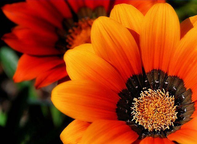 Flower Orange Red