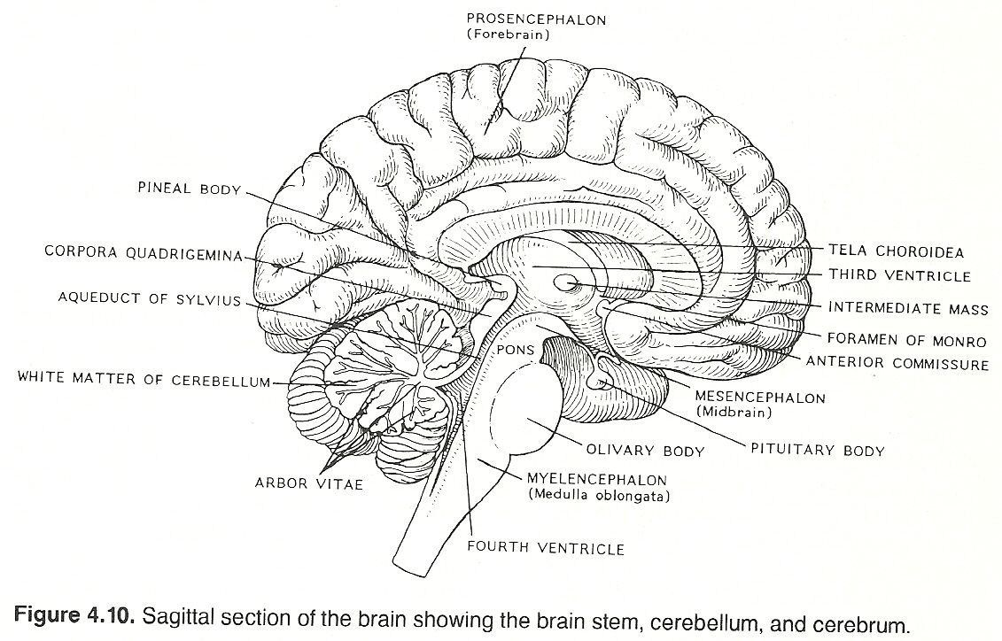 Blank Brain Diagram Koibana Info Brain Diagram Human Brain Diagram Diagram
