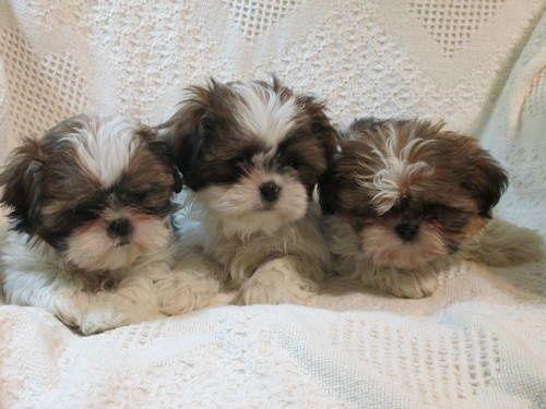 CKC Registered Shih Tzu Puppies LOVE SHIH TZU?? visit our website now! Love Your Dog? Visit our website NOW!