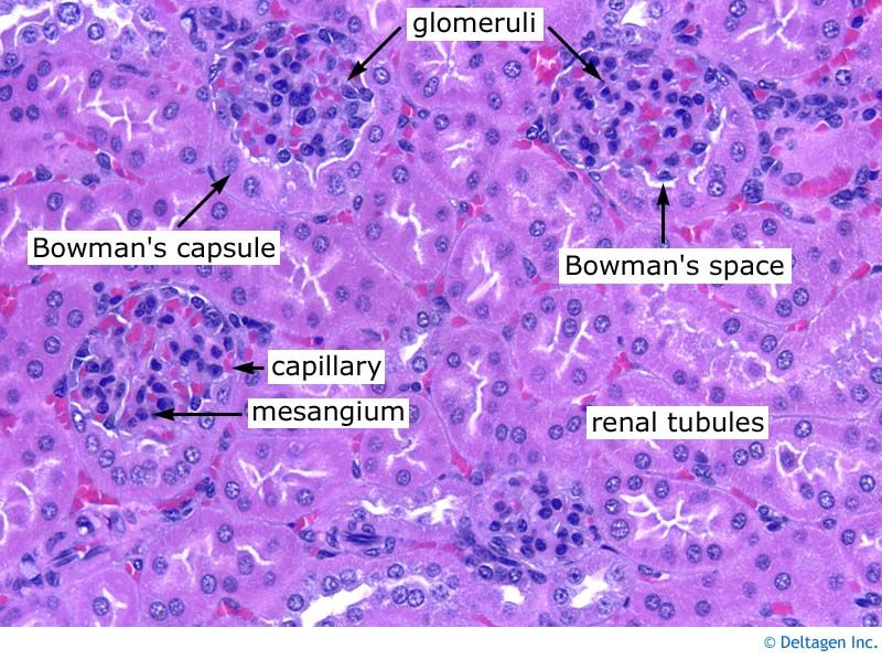 Kidney Histology Glomerulus