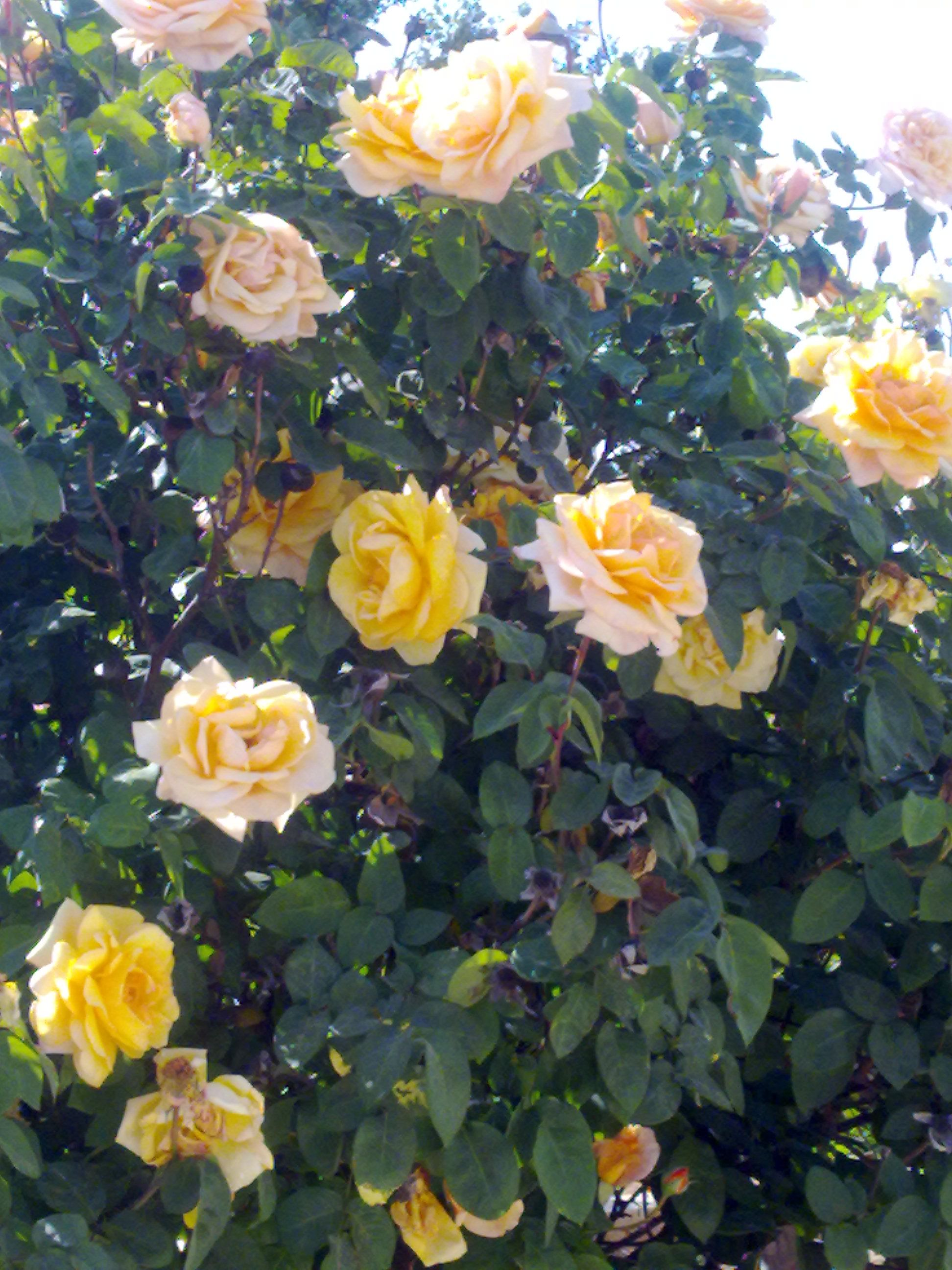 I want lots of yellow rose bushes in my yard. Love yellow