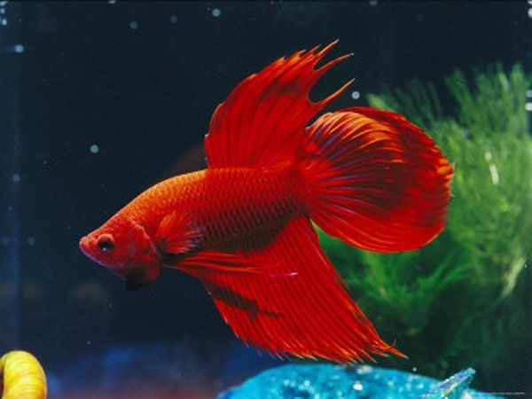 Red Siamese Fighting Fish (Betta splendens) have been affectionately nicknamed  The Jewel of & Red Siamese Fighting Fish (Betta splendens) have been affectionately ...