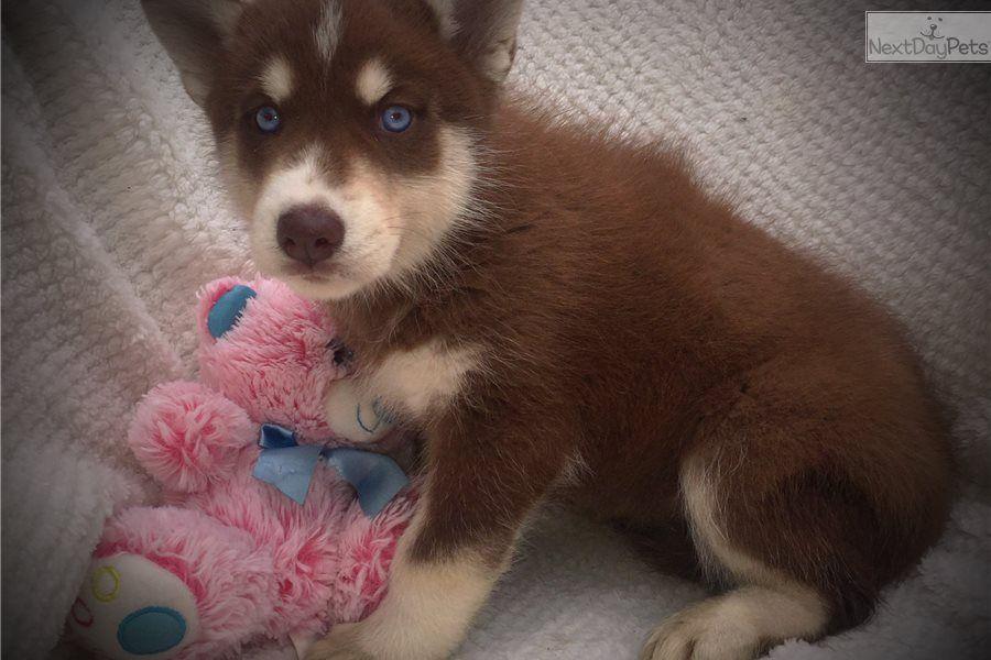 Siberian Husky Puppy For Sale Near Kansas City Missouri A06922ec B0d1 Husky Puppies For Sale Husky Puppy Puppies