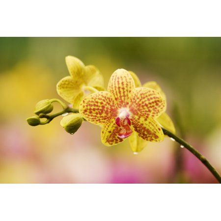 Hawaii Close-Up Of Yellow Spotted Orchids With Dewdrops Canvas Art - Ron Dahlquist Design Pics (36 x 24)