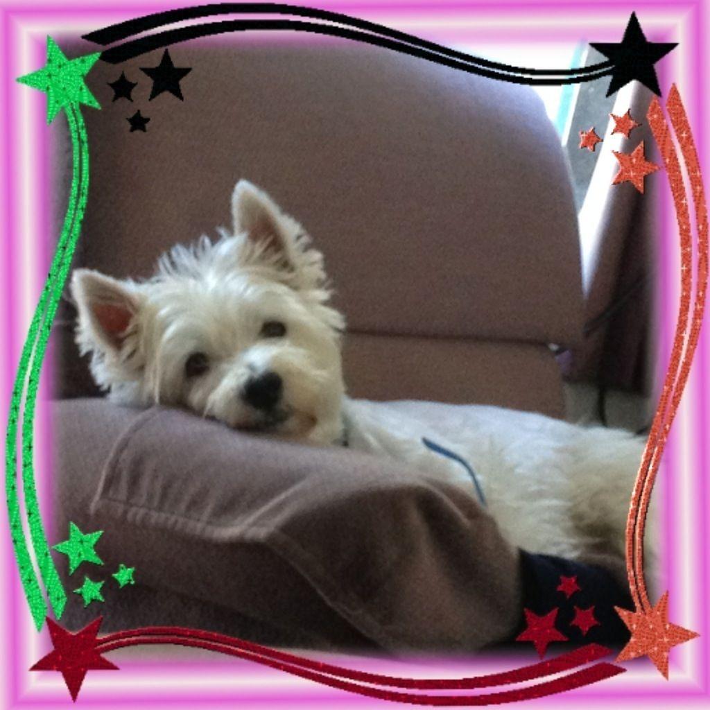 Westie puppies for adoption in ohio