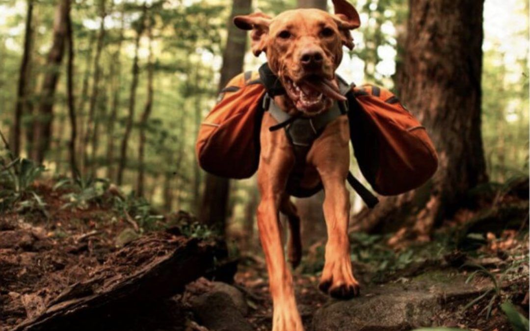 The Essentials For A Safe Camping Trip With Your Dog S In 2020 Athletic Dogs Athletic Dogs Breeds Dogs