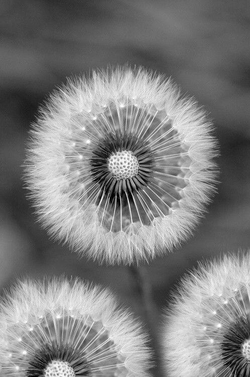 Dandelions B W Photo Beautiful Flowers Dandelion Flowers