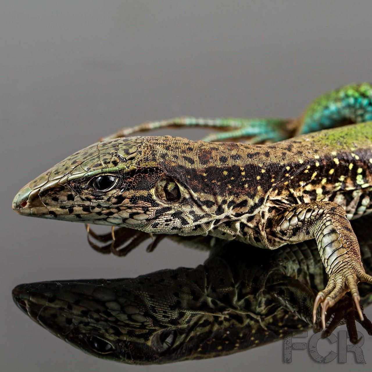 Green Ameiva For Sale First Choice Reptiles Reptiles